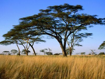 Acacia Trees on Serengeti Plains, Serengeti National Park, Tanzania