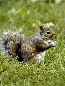 Grey Squirrel Holding a Piece of Food by Dennis Macdonald