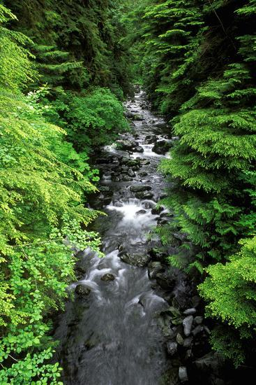 Dense forest along Howe Creek in the Quinault Rain Forest, Olympic National Park, WA.-Russ Bishop-Photographic Print