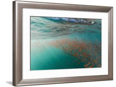 Dense Swarms of Juvenile Squat Lobster (Munida Gregaria) Off Akaroa-Michael Nolan-Framed Photographic Print