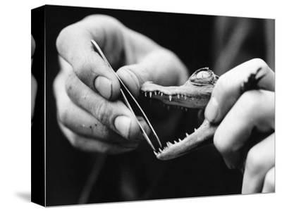 Dental Checkup for Baby Crocodile