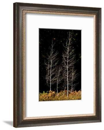 Denuded aspens, White River Area, Wenatchee National Forest, WA.-Michel Hersen-Framed Photographic Print