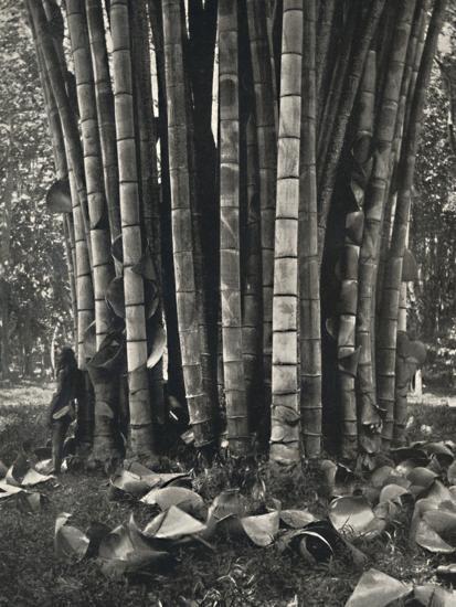 'Der untere Teil der Halme einer Pflanze des Riesenbambus in Peradeniya', 1926-Unknown-Photographic Print