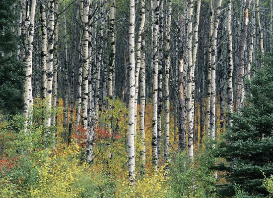 derek-jecxz-autumn-birch