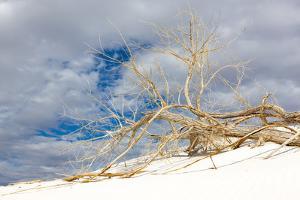 Cottonwood Tree on White Dune in White Sands National Monument by Derek Von Briesen