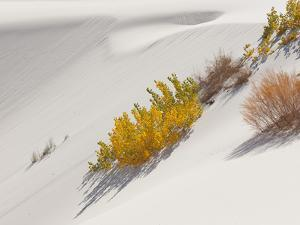Cottonwood Trees with Fall Color and Salt Cedar in White Sands National Monument by Derek Von Briesen