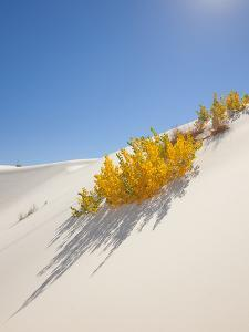 Cottonwood Trees with Fall Color in White Sands National Monument by Derek Von Briesen