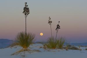 Soapweed Yucca Blooming in White Sands National Monument by Derek Von Briesen