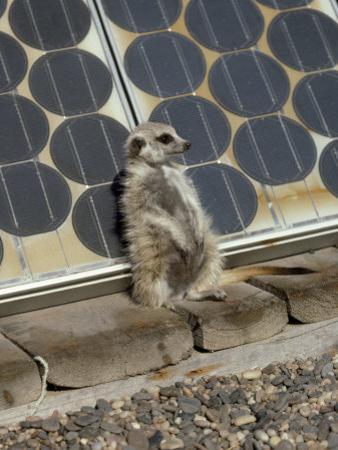 Suricate (Suricata Suricatta, also Called Meerkat), Suns Himself Against a Solar Cell