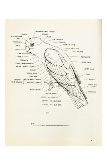 Descriptive Parts of a Parrot no. 22--Art Print