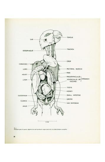 Descriptive Parts of a Parrot no. 25--Art Print