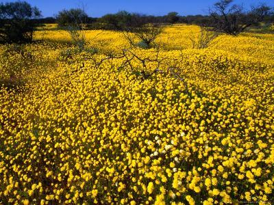 Desert Annual Wildflowers After Rain, Kalbarri National Park, Australia-Mitch Reardon-Photographic Print