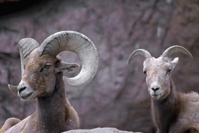 Desert Bighorn Sheep Ram and Ewe, Southern Arizona, Usa-John Barger-Photographic Print