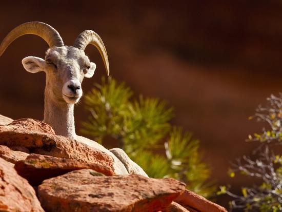 Desert Bighorn Sheep, Zion National Park, Utah, Usa-Maresa Pryor-Photographic Print