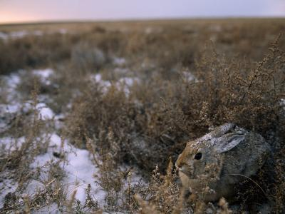 Desert Cottontail Rabbit Camouflaged in Snow Covered Grassland-Joel Sartore-Photographic Print