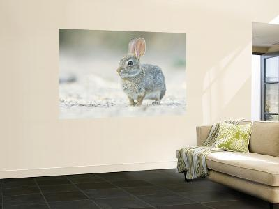 Desert Cottontail Rabbit, Rio Grande Valley, Texas, USA-Rob Tilley-Wall Mural