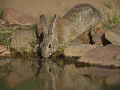 Desert Cottontail-Jack Michanowski-Photographic Print