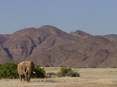Desert-Dwelling Elephant, Loxodonta Africana Africana, Dry River, Kaokoland, Namibia, Africa-Thorsten Milse-Photographic Print