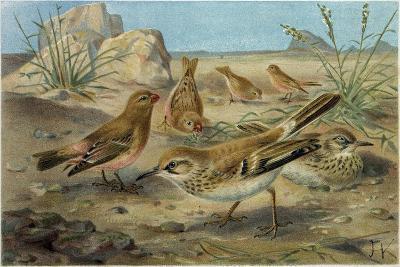 Desert Finch and Desert Lark--Giclee Print