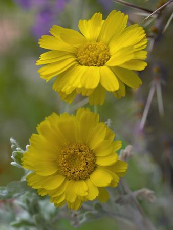 Desert Marigold, Arizona, Usa-Tim Fitzharris-Photographic Print