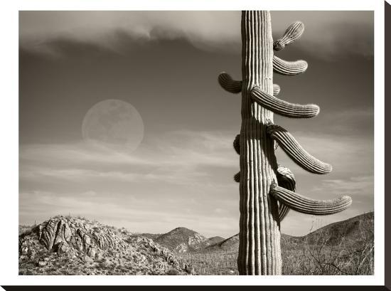 Desert Moon-Murray Bolesta-Stretched Canvas Print