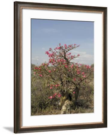 Desert Rose, Kenya, East Africa, Africa-Groenendijk Peter-Framed Photographic Print