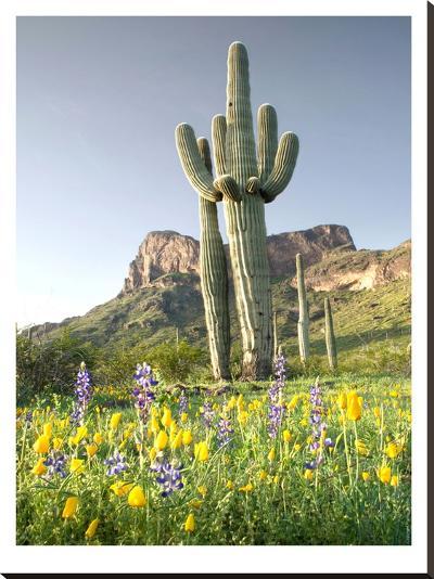 Desert Sentinel #2-Murray Bolesta-Stretched Canvas Print