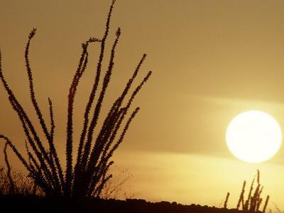 Desert Sunset with Ocotillo, CA-D^ Robert Franz-Photographic Print
