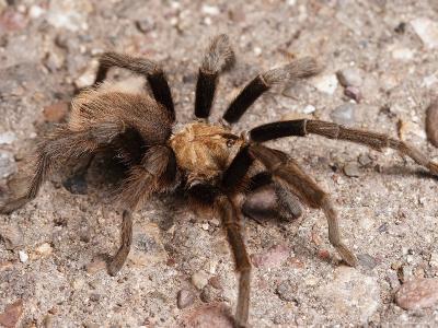 Desert Tarantula Spider Crawling Across a Road-George Grall-Photographic Print