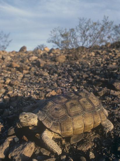 Desert Tortoise (Gopherus Agassizii) a Threatened Species, Mojave Desert, California, USA-Tom Ulrich-Photographic Print