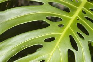 Close-Up of a Philodendron or Monstera Leaf. by Design Pics/Allan Seiden