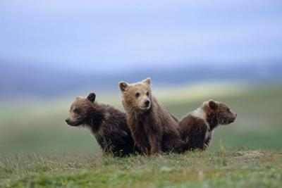 4 Young Brown Bear Cubs Huddled Together on Tundra Katmai National Park Southwest Alaska Summer by Design Pics Inc