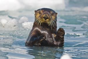 A Sea Otter Swimming Amongst Sea Ice in Harriman Fjord, Prince William Sound, Southcentral Alaska by Design Pics Inc
