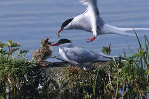 Arctic Terns Feeding Chick at Potter Marsh During Spring in Southcentral Alaska by Design Pics Inc