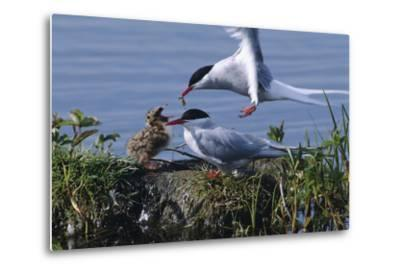 Arctic Terns Feeding Chick at Potter Marsh During Spring in Southcentral Alaska