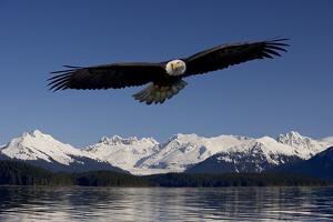 Bald Eagle in Flight Inside Passage Tongass National Forest Se Alaska Spring by Design Pics Inc
