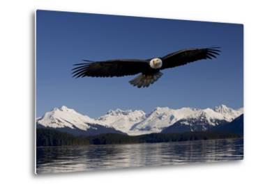Bald Eagle in Flight Inside Passage Tongass National Forest Se Alaska Spring