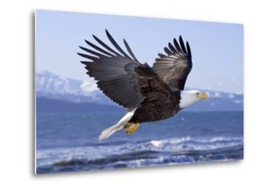 Bald Eagle in Mid-Air Flight over Homer Spit Kenai Peninsula Alaska Winter Kachemak Bay