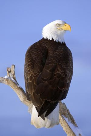 Bald Eagle Perched on Tree Branch Homer Spit Kenai Peninsula Alaska Winter by Design Pics Inc