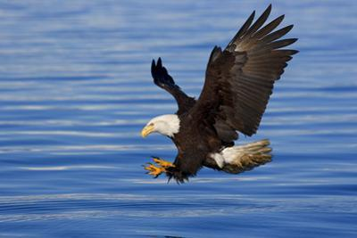 Bald Eagle Preparing to Grab Fish Out of Water Inside Passage Alaska Southeast Spring by Design Pics Inc