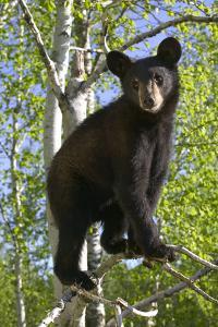 Black Bear Cub in Tree Minnesota Forest Captive Summer by Design Pics Inc