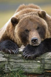 Brown Bear Rests with it Front Legs Outstrenched on a Log, Alaska Wildlife Conservation Center by Design Pics Inc