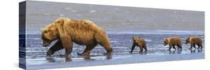 Brown Bear Sow and Her Three Cubs Walking on a Beach at Lake Clarke National Park by Design Pics Inc