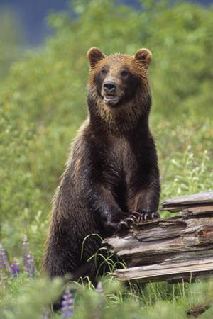 Brown Bear Standing Upright on Log Captive Alaska Wildlife Conservation Center Southcentral Alaska by Design Pics Inc