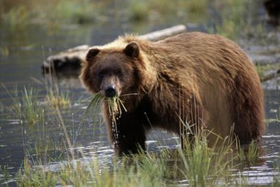 Brown Bear with Mouth Full of Grass in Marsh Captive Alaska Wildlife Conservation Center Autumn by Design Pics Inc