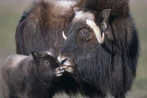 Captive Adult Female Musk Ox with Calf at the Alaska Wildlife Conservation Center During Summer by Design Pics Inc