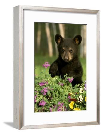 Captive Black Bear Cub Playing in Flowers Minnesota