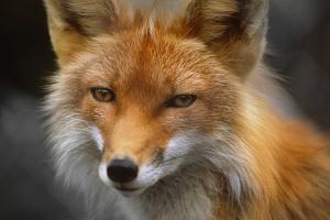 Captive: Close Up of Red Fox at the Alaska Wildlife Conservation Center by Design Pics Inc