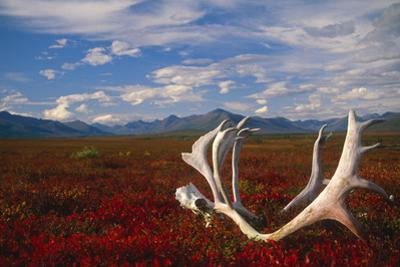 Caribou Skull and Antlers Laying on Arctic Tundra Kobuk Valley National Park Alaska Autumn by Design Pics Inc