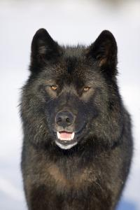 Close-Up Archipelago Wolf by Design Pics Inc